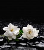 picture of gardenia  - Still life with two gardenia with therapy stones  - JPG