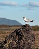 Gull In Namafjall Iceland