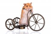 foto of hamster  - hamster on a bicycle on white background - JPG