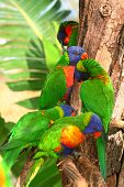 foto of lorikeets  - A group Rainbow Lorikeet on a tree trunk - JPG