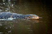 pic of monitor lizard  - Large monitor lizard in river - JPG