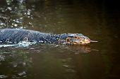 foto of monitor lizard  - Large monitor lizard in river - JPG