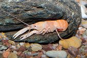 Light Orange Crayfish