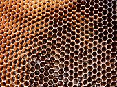 pic of larva  - Honey bee eggs and larva on comb different stages of development - JPG
