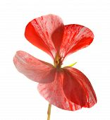 image of geranium  - variegated pink and red geranium isolated on white - JPG