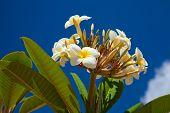 Frangipani Flowers In Sunshine