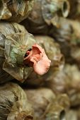 picture of spawn  - Pink oyster mushroom  - JPG