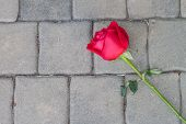 Red Rose On Cement Floor
