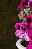 picture of geranium  - bright beautiful geranium flowers on cork background - JPG