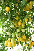 yellow cluster Tomato