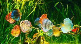 stock photo of green algae  - Symphysodon discus in an aquarium on a green background - JPG