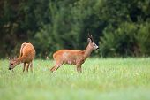 stock photo of  bucks  - Buck deer with roe - JPG