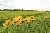 picture of dandelion  - bush blooming dandelions photographed on a background field of blooming dandelions - JPG