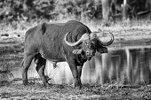 foto of cape buffalo  - Thirsty Cape buffalo bull drinking water from a pond artistic conversion - JPG