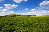stock photo of potato-field  - an agricultural field on which grow up potatoes - JPG
