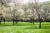 stock photo of orchard  - Cherry orchard avenue between old white flowering trees - JPG