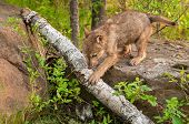 foto of lupus  - Grey Wolf Pup  - JPG