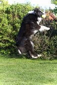 picture of border collie  - Border collie is jumping and catching the yellow ball in his mouth - JPG