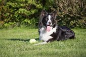 image of toy dogs  - Border collie is lying on the lawn - JPG