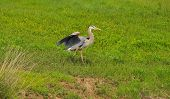 picture of spread wings  - Great Blue Heron spreading its wings while walking through the grass  - JPG