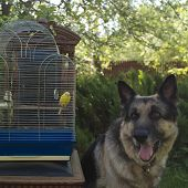 stock photo of bird-dog  - Bird cage with a small yellow budgie and a shepherd dog in the background differential focus outdoor shot  - JPG
