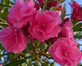 picture of oleander  - Branch of oleander with pink flowers and  leaves - JPG