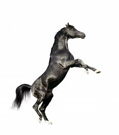 picture of big horse  - black arabian horse rearing isolated on white background - JPG