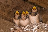 Hungry Barn Swallow Chicks!