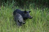stock photo of razorback  - a pair of wild hogs eating in a field - JPG
