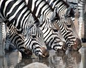Zebra Drinking