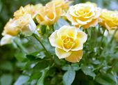 wedding bouquet, bunch of yellow roses -  of