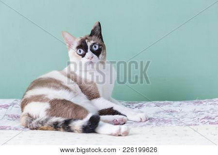 poster of Blue Eyed Cat. Cat Lying On Bed. Cat Look At Camera With Green Color Background. Cat Thai.