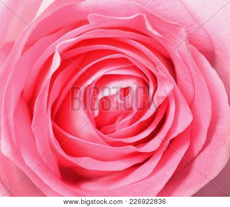 poster of Pink Rose, Top View Closeup Photo Image Of Single Pink Rose Flower Present A Detail Of Flower Petal