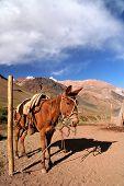 Gaucho's Horse