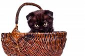 Cute Kitten Playing In The Wicker Basket. Scottish Fold Kitten Isoliert On White Background. Pet And poster