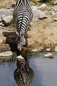 Masai Mara Zebra