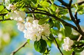 Spring Flowers Of Blooming Apple Tree. Natural Spring Flower Landscape In Soft Tones. Colorful Sprin poster