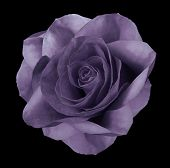 Rose Violet Flower  On The Black Isolated Background With Clipping Path.  No Shadows. Closeup.  Natu poster
