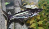 picture of hypophthalmus  - Pangasius catfish swimming in aquaria - JPG
