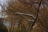 A Tree With Some Snow On Branches. There Are Branches Without Snows. Branches Have No Sheet (leaf).  poster
