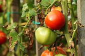 Red And Green Garden Tomatoes