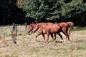 Arabian Horse an a Pasture