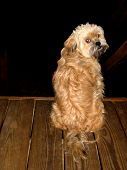picture of cockapoo  - Mixed breed puppy on wood deck looking over shoulder against dark background  - JPG
