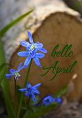 Hello April Card With Blue Scilla Flowers In A Spring Forest.blue Snowdrops.scilla Siberica (squill) poster