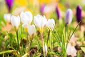 The First Spring Flowers Crocus. White Spring Fragrant Flowers Of Crocus And Green Grass. Spring Bri poster
