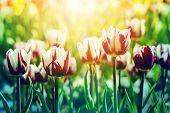Beatiful Background Of Tulips Flower Background In Rim Light With Sunflare On The Foreground, Toned  poster