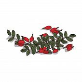 Isolated Clipart Of Plant Rose Hips On White Background. Botanical Drawing Of Herb Rosa With Fruits  poster