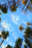 Trees Over A Sky
