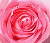 Pink Rose, Top View Closeup Photo Image Of Single Pink Rose Flower Present A Detail Of Flower Petal  poster