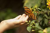 Child Hand Touching a Beautiful Oak Tiger Butterfly on Flower.